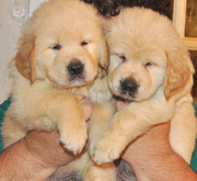 adorable healthy golden retriever puppies (lauramorre@sify.com)